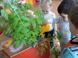 Поливка рассады помидоры